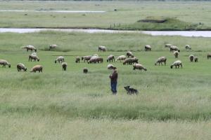 Éleveur de moutons en baie